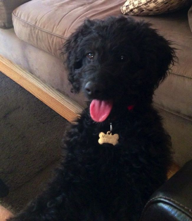 Black Toy Goldendoodle