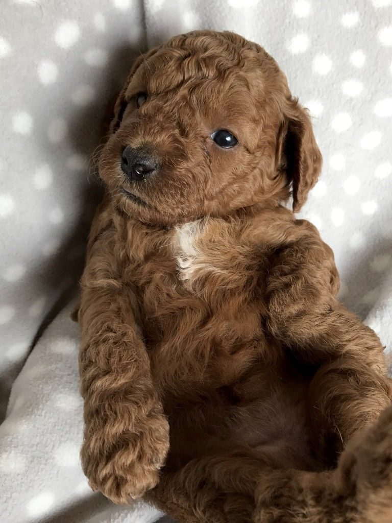 Brown Toy Goldendoodle