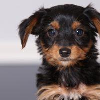 Dachshund Yorkie Mix Puppy