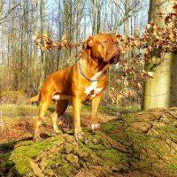 Dogue de Bordeaux Full Grown