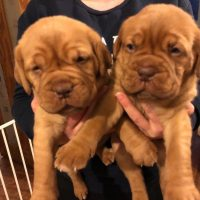 Dogue de Bordeaux Puppies Pictuers