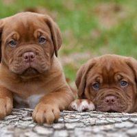Dogue de Bordeaux Puppy Pictures