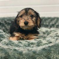 Dorkie New Born Puppies