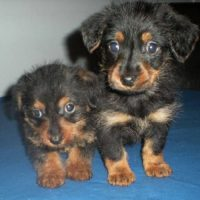 Dorkie Puppies Pics