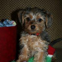 Dorkie Puppy Images