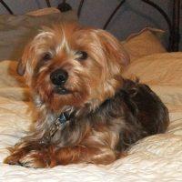 Dorkie Puppy Pictures