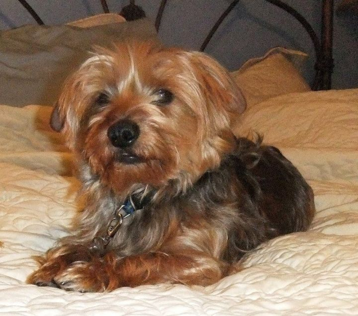 Show Me Pictures Of Small Beautiful Bathrooms: Dorkie (Dachshund Yorkie Mix) Dog Breed Information