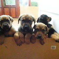 English Mastweiler Puppies Images