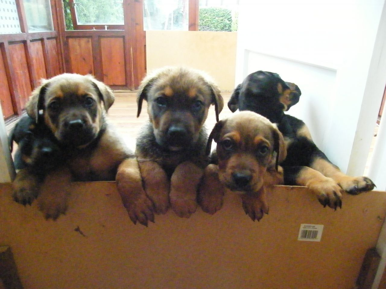 English Mastweiler Rottweiler English Mastiff Mix Info Puppies
