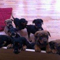 English Mastweiler Puppies Pictures