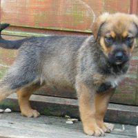 English Mastweiler Puppy
