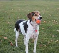 German Pointer Beagle Mix