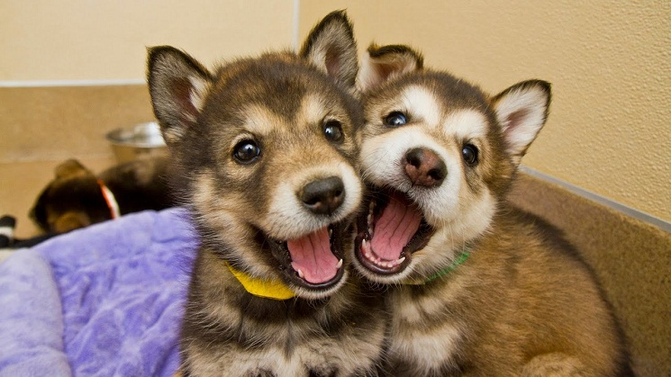 Husky Malamute Puppies