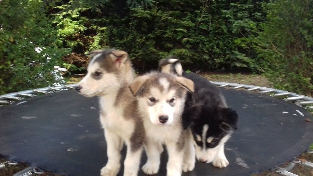 Malamute Husky Puppies