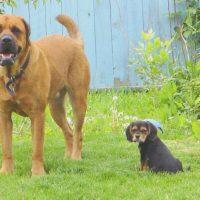 Mastweiler Dog and Pup