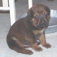 Mastweiler Puppies