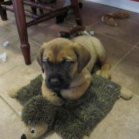 Mastweiler Puppy Pictures