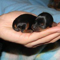 Newborn Dorkie