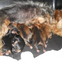 Newborn Dorkie Puppies