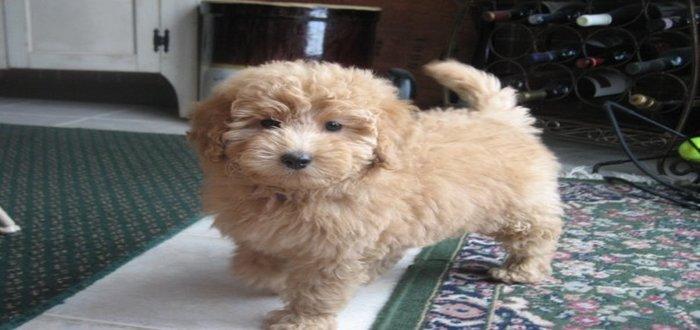 Petite Goldendoodle Dog
