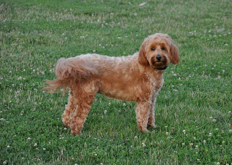 Petite Goldendoodle Full Grown