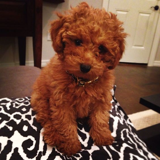 Toy Goldendoodle Dog