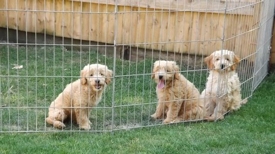 Toy Goldendoodle Images