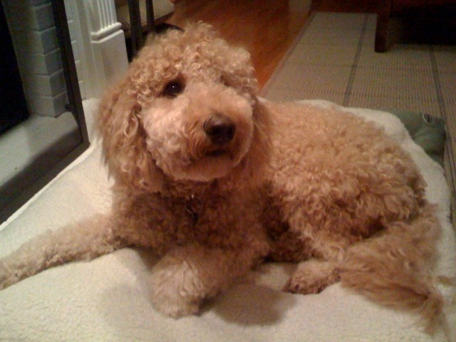 Toy Goldendoodle Pictures
