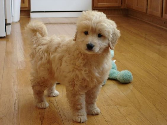 Toy Goldendoodle