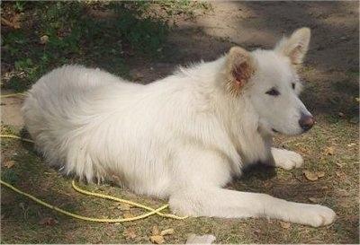 White Malamute Husky