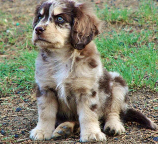 Australian Shepherd Cocker Spaniel Mix
