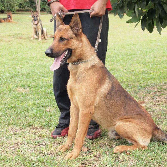 Belgian Shepherd Malinoi