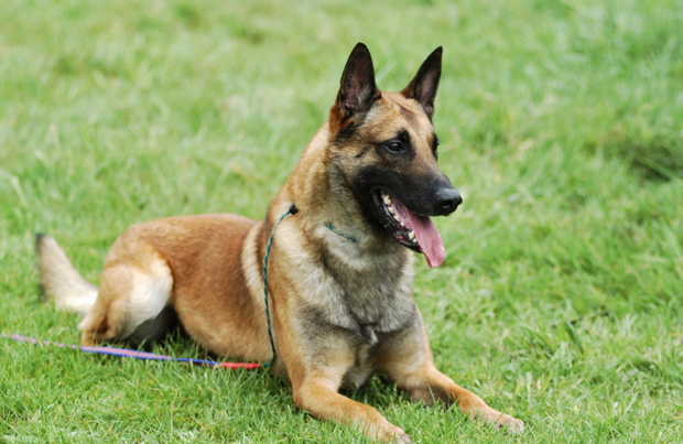 Belgian Shepherd Malinois Dog