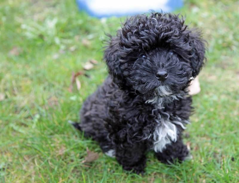 Black Havapoo Dog