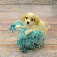 Cav-A-Mo Puppy