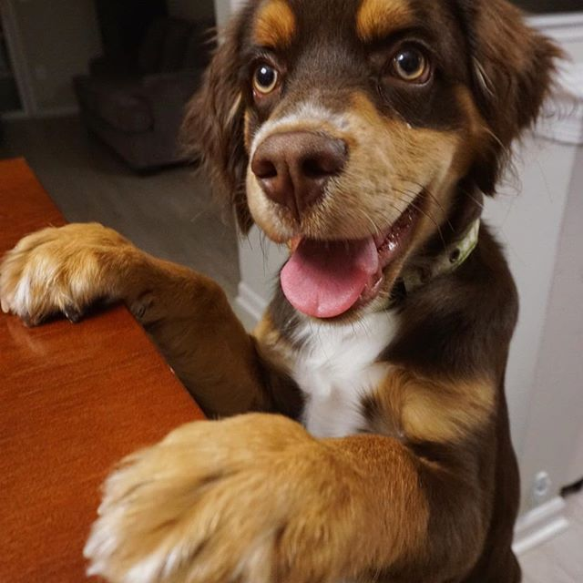 Cocker Spaniel and Australian Shepherd Mix