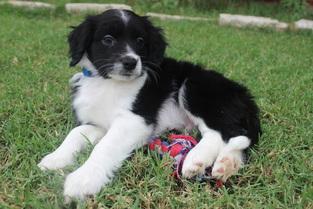 Cotralian Puppy
