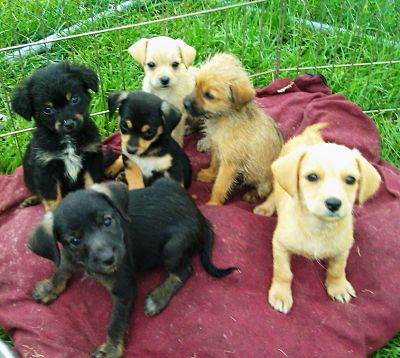 Dachshund Mix Puppies