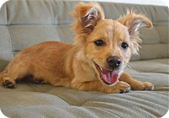 Dameranian Dog Breed