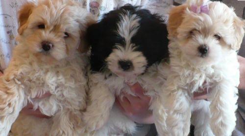 Havapoo Puppies