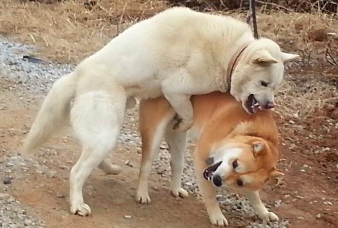 Jindo vs Pungsan Dog