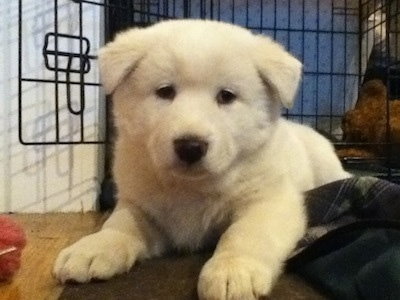 Phungsan Puppy