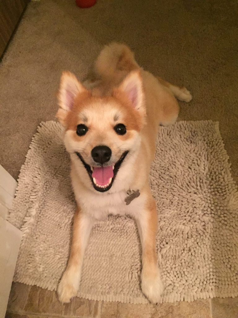Pom Shiba Inu Dog Mix