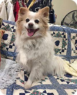 Pomeranian Shiba Inu Mix Puppy