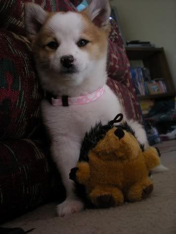 Pomeranian Shiba Inu Mix