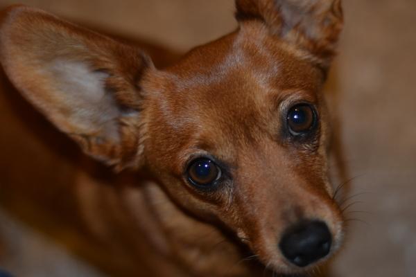 Pomeranian Weiner Dog