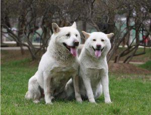 Pungsan Dogs