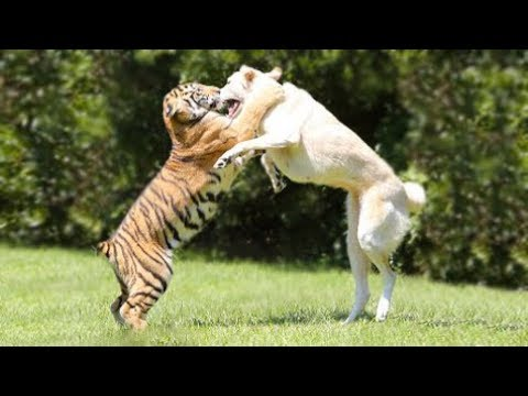 Pungsan and Tiger Fight
