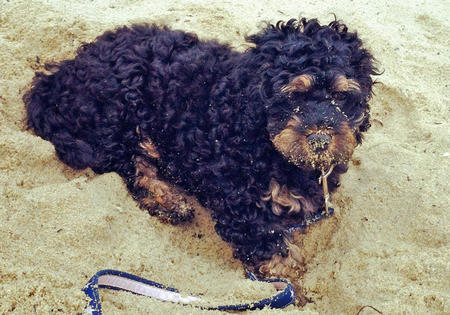 Rottweiler Poodle Mix Dog