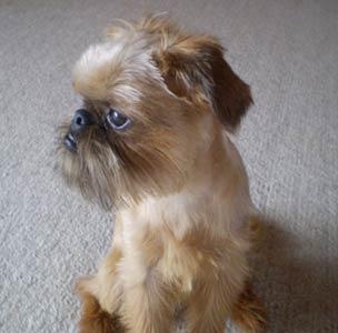 Shiffon Dog
